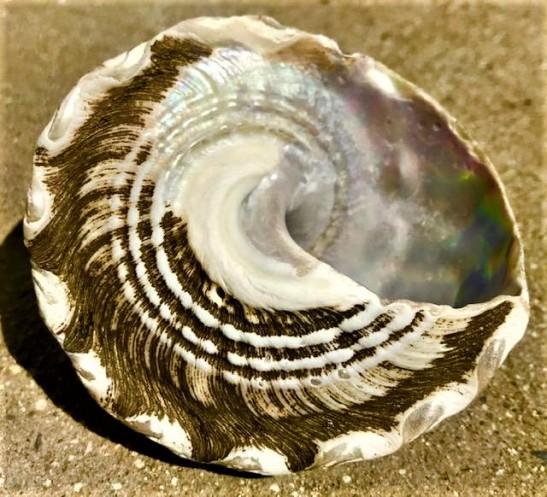 shellbottom