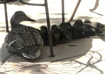 ducksleep