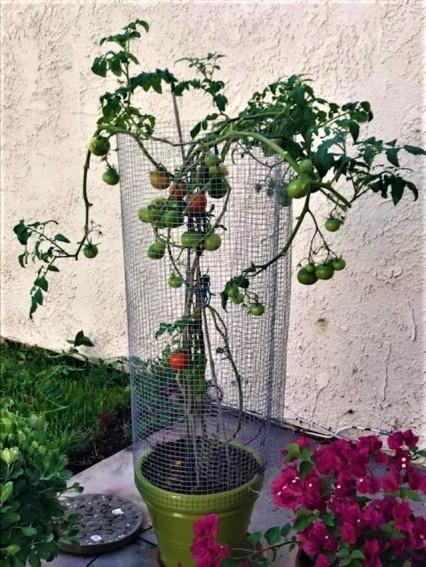 tomatocage