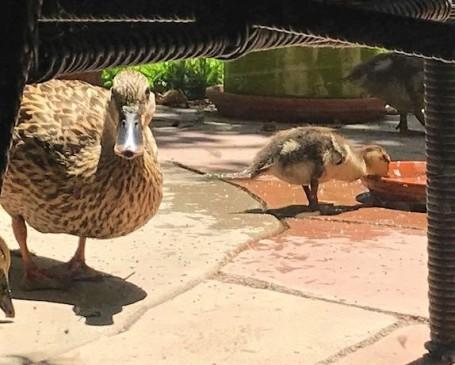 duckmom
