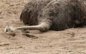 ostrich hiding